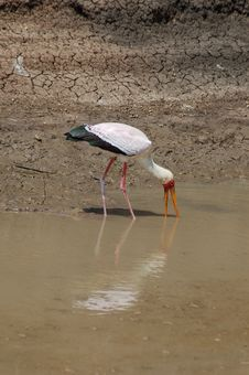 Free Yellow Billed Stork Stock Photography - 4875452