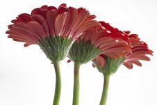 Free Gerbera Daisies Stock Photo - 4875780