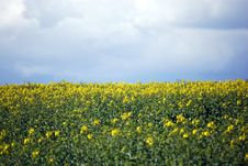 Free Rapeseed Field Stock Photography - 4875872