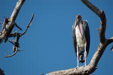 Free Marabou Stork Stock Images - 4875904