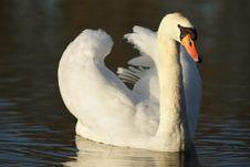 Free Swan Royalty Free Stock Image - 4876726