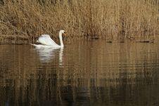 Free Swan Lake Royalty Free Stock Photos - 4876758