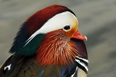 Free Mandarin Duck Stock Photos - 4877113