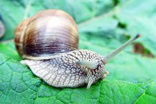 Grape Snail Stock Images