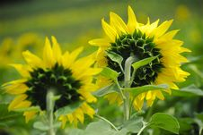 Free Sunflowers Stock Photos - 4877543