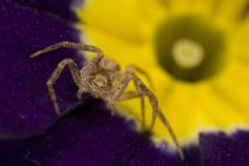 Free Sac Spider On Purple Primrose Royalty Free Stock Photography - 4878007