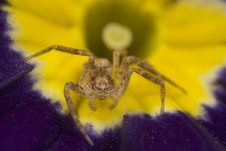Free Sac Spider On Primrose Stock Images - 4878074