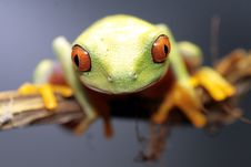 Free Red Eyed Tree Frog Royalty Free Stock Images - 4878089