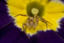 Free Sac Spider On Primrose Stock Photography - 4878092