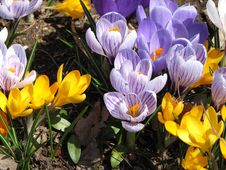 Free Spring Crocus Stock Photography - 4878162