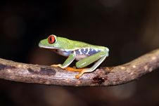 Free Red Eyed Tree Frog Stock Images - 4878274