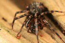 Free Cybaeus Spider Royalty Free Stock Photos - 4878768