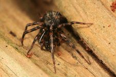 Free Cybaeus Spider Stock Images - 4878774