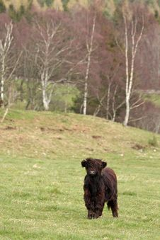 Free Highland Cow Calf Stock Image - 4879101