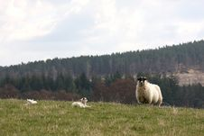 Sheep And Lambs In Royal Deeside Royalty Free Stock Photography