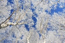 Free Snow Branch Royalty Free Stock Images - 4879589