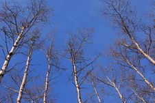 Free Aspen Trees Royalty Free Stock Photo - 4879725