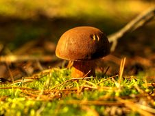 Xerocomus - Bay Bolete Stock Photo