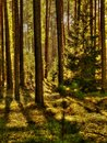 Free Typical Polish Forest Royalty Free Stock Image - 48774416