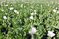 Free India, Bijaipur: Opium Poppy Field Royalty Free Stock Photo - 4882455