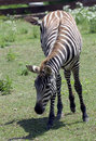 Free Zebra Stock Photography - 4887172
