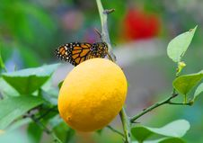 Free Monarch Batterfly On Lemon Stock Image - 4880501