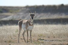 Free Pronghorn Royalty Free Stock Photos - 4881158