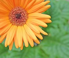 Orange Daisy Royalty Free Stock Photos