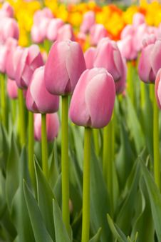 Free Purple Tulips Stock Photography - 4882772
