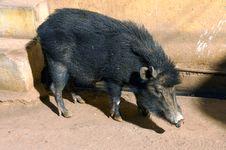 Free India, Bundi: Wild Boar Royalty Free Stock Photos - 4882778