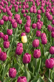 Free Purple And Yellow Tulips Stock Images - 4882784