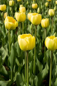 Free Yellow Tulips Stock Photography - 4882802