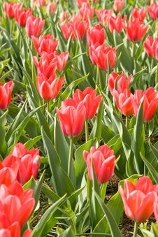 Free Red Tulips Royalty Free Stock Photography - 4882807