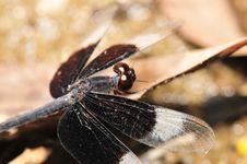 Free Black Dragonfly Royalty Free Stock Photo - 4883055