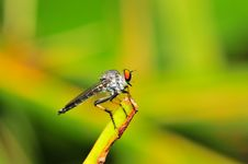 Free Robber Fly Royalty Free Stock Images - 4883059
