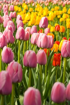 Free Colored Tulips Stock Photo - 4883100