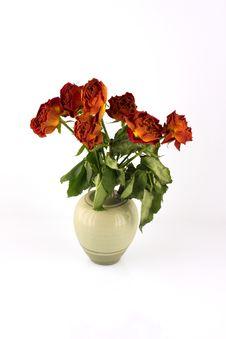 Free Orange Withered Roses, White Background Royalty Free Stock Images - 4883109