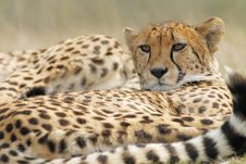 Free Beautiful Cheetah Stock Photos - 4883903