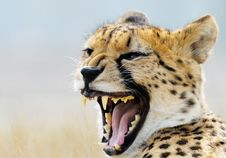 Free Beautiful Cheetah Stock Photos - 4883913