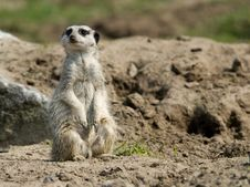 Cute Meerkat Stock Photography