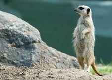 Free Cute Meerkat Royalty Free Stock Photos - 4884078