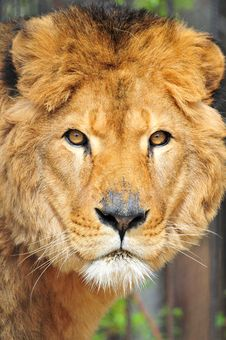 Free Old Lion Portrait Stock Photo - 4884310