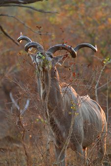 Free Kudu Bull Stock Photos - 4884903