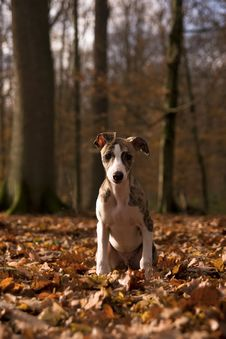Free Whippet Puppy Royalty Free Stock Photos - 4885228