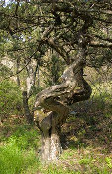 Free Relic Pine Stock Photo - 4885480