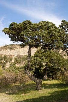Free Relic Pine Stock Photos - 4885533