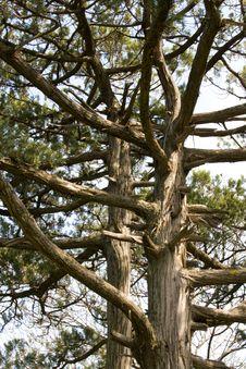 Free Relic Pine Stock Photo - 4885550