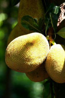 Jackfruits Royalty Free Stock Image