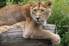 Free Lion On Tree Trunk Stock Image - 4886621
