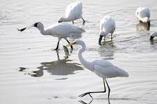 Egret Catch A Fish Stock Photos